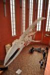 Stralsund,_Meeresmuseum_in_der_Katharinenkirche,_Finnwalskelett_(2012-04-10)_1,_by_Klugschnacker_in_Wikipedia